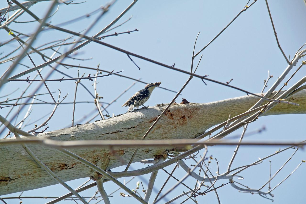 901 Nuttall's Woodpecker