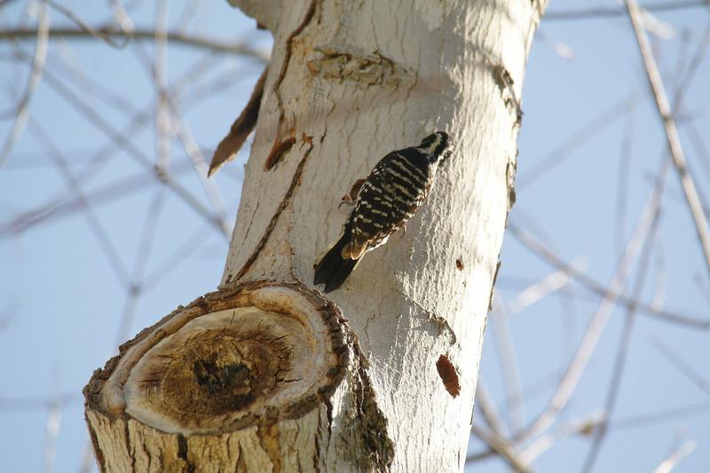 978 Nuttall's Woodpecker