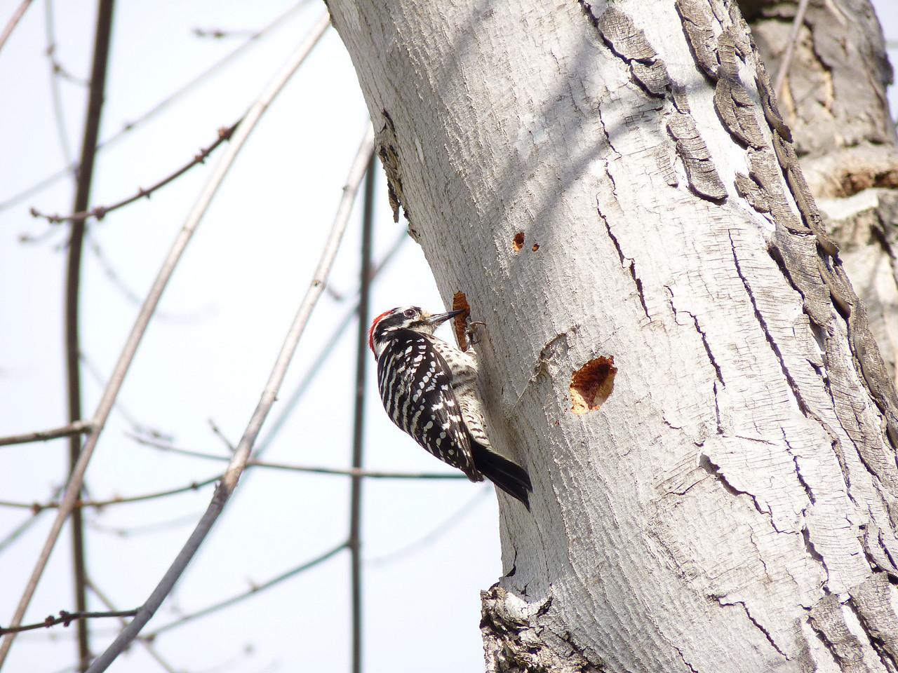 713 Nuttall's Woodpecker
