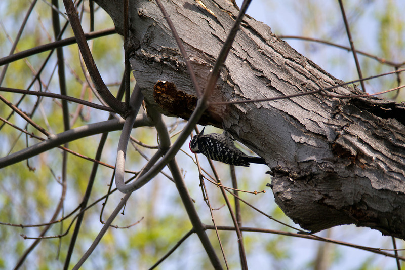 746 Nuttall's Woodpecker