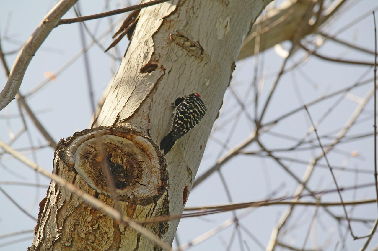 906 Nuttall's Woodpecker