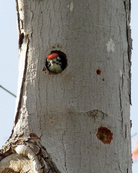 010 Nuttall's Woodpecker