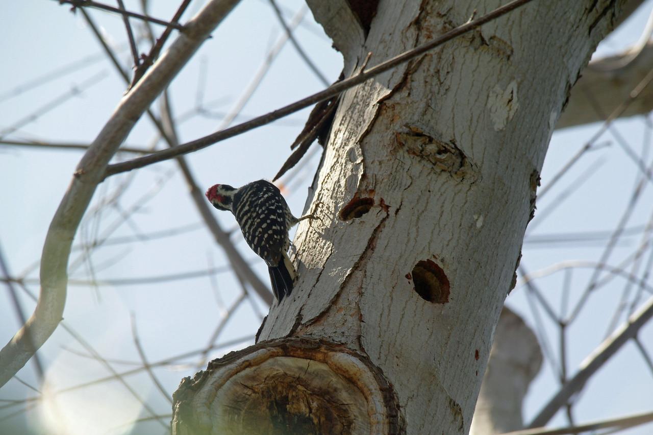 919 Nuttall's Woodpecker