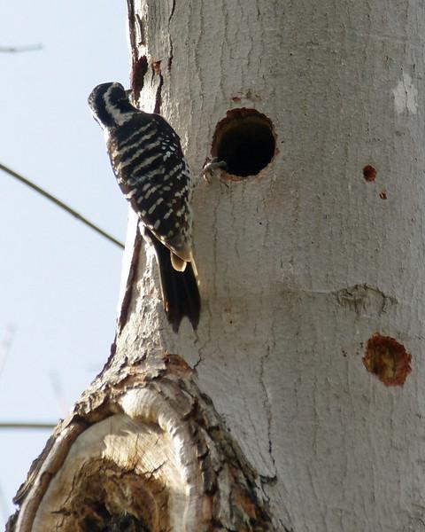 003 Nuttall's Woodpecker