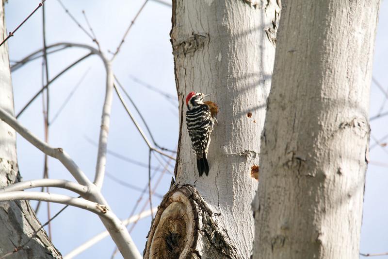 752 Nuttall's Woodpecker