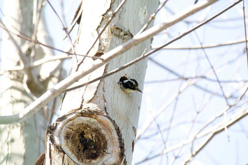 882 Nuttall's Woodpecker