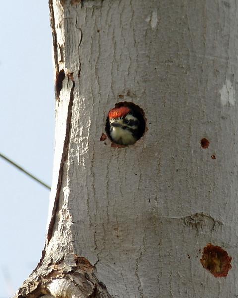 011 Nuttall's Woodpecker