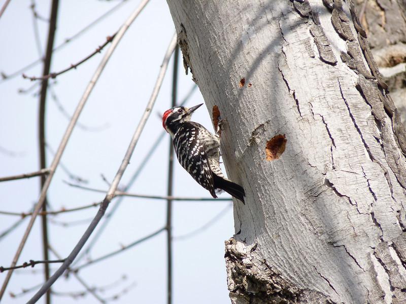 714 Nuttall's Woodpecker