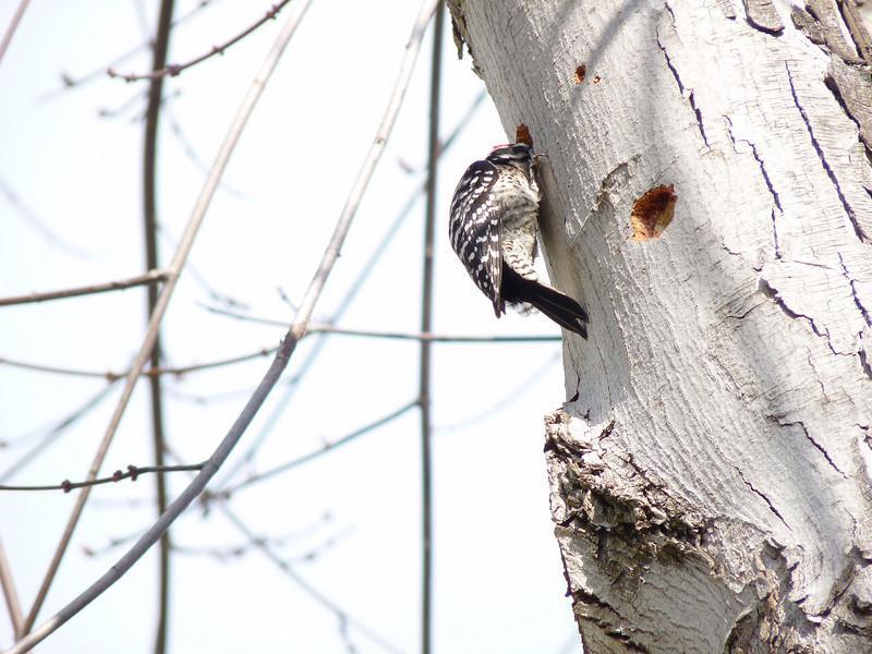 716 Nuttall's Woodpecker
