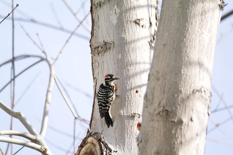 760 Nuttall's Woodpecker