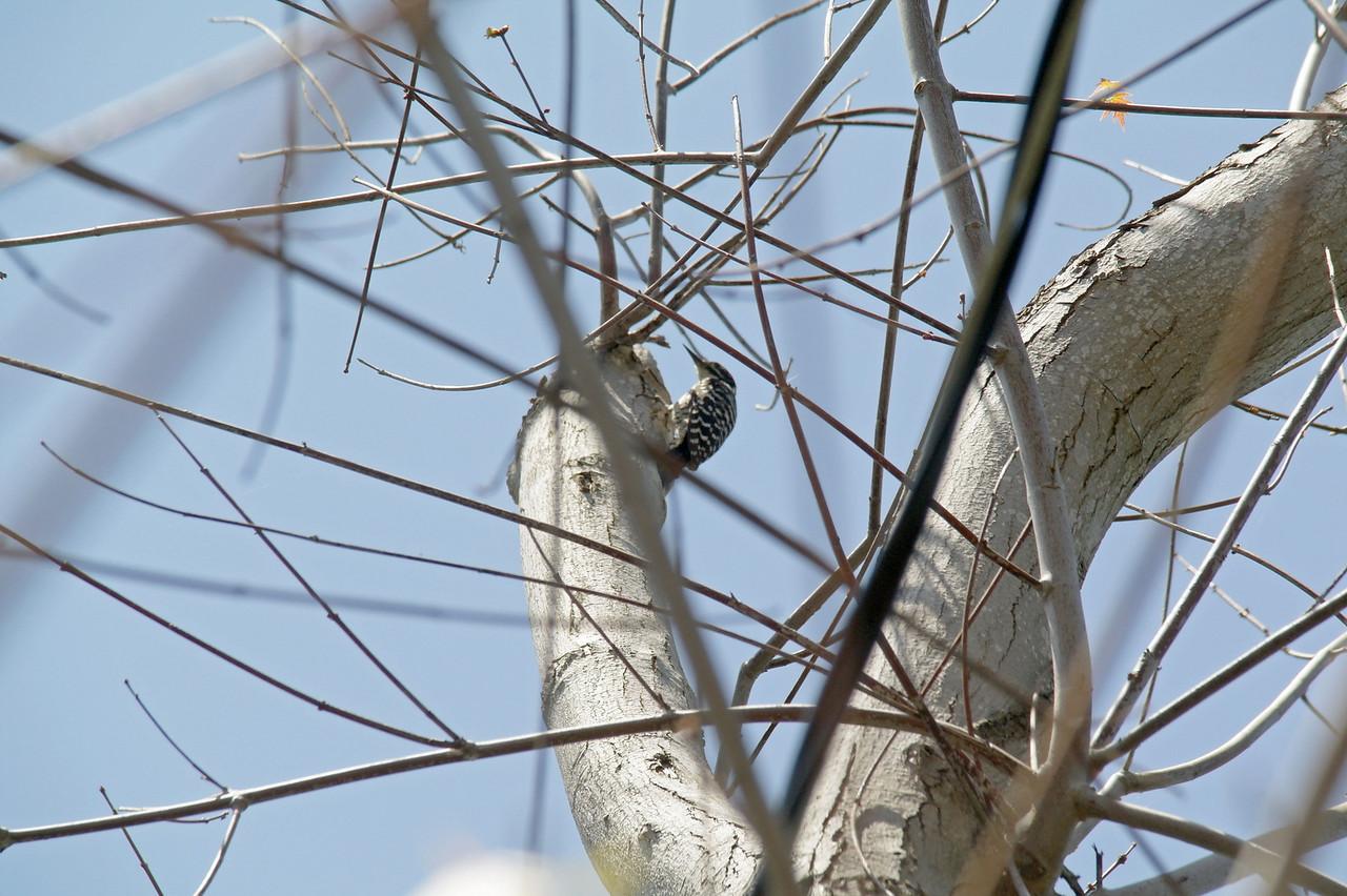 933 Nuttall's Woodpecker