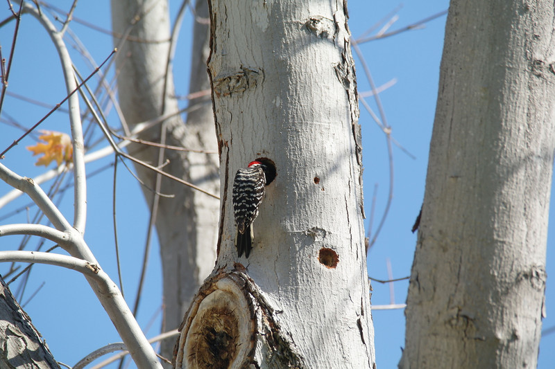 974 Nuttall's Woodpecker