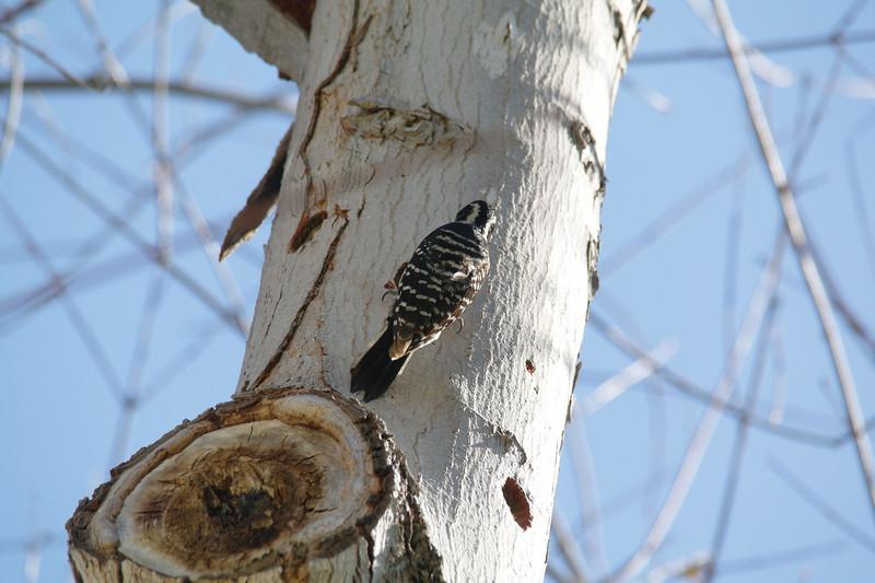 980 Nuttall's Woodpecker