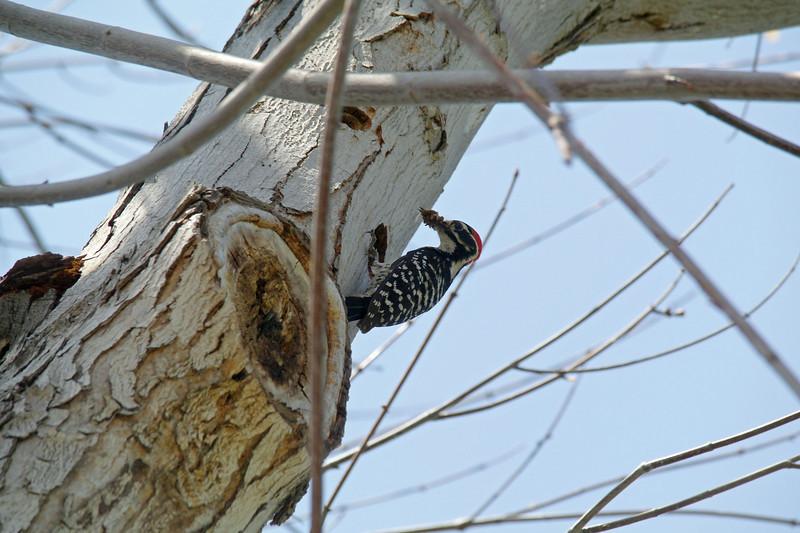 928 Nuttall's Woodpecker