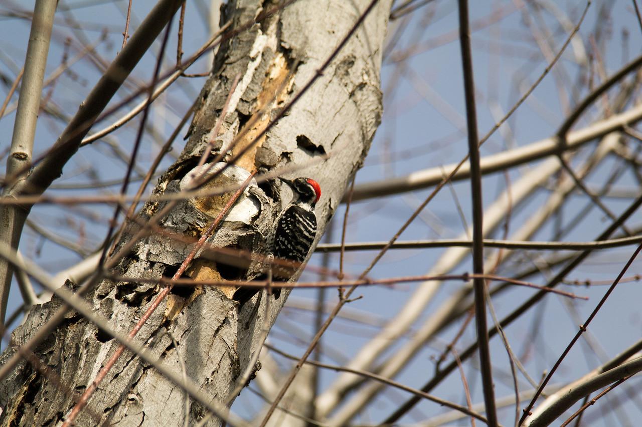 740 Nuttall's Woodpecker
