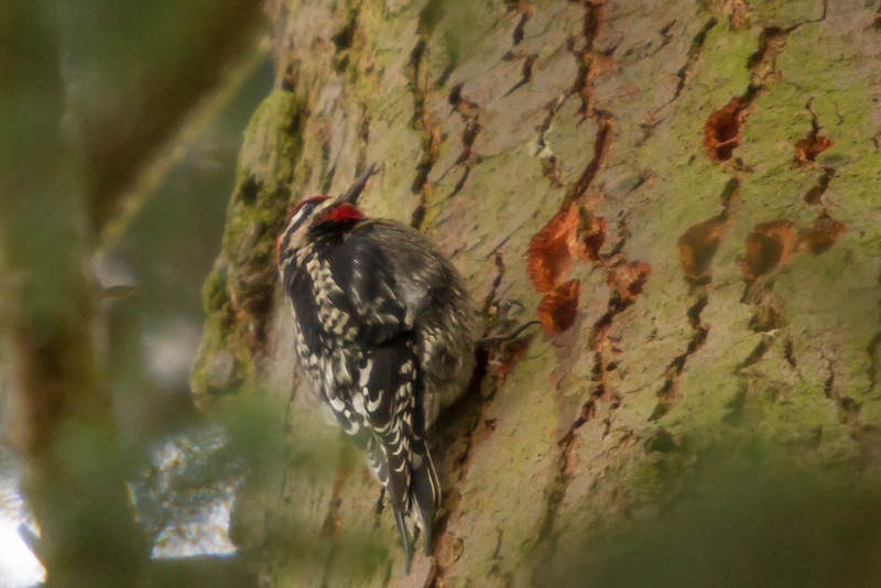 Red-naped x Red-breasted Sapsucker hybrid