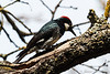 Acorn Woodpecker-4929