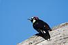 acorn woodpecker-5756