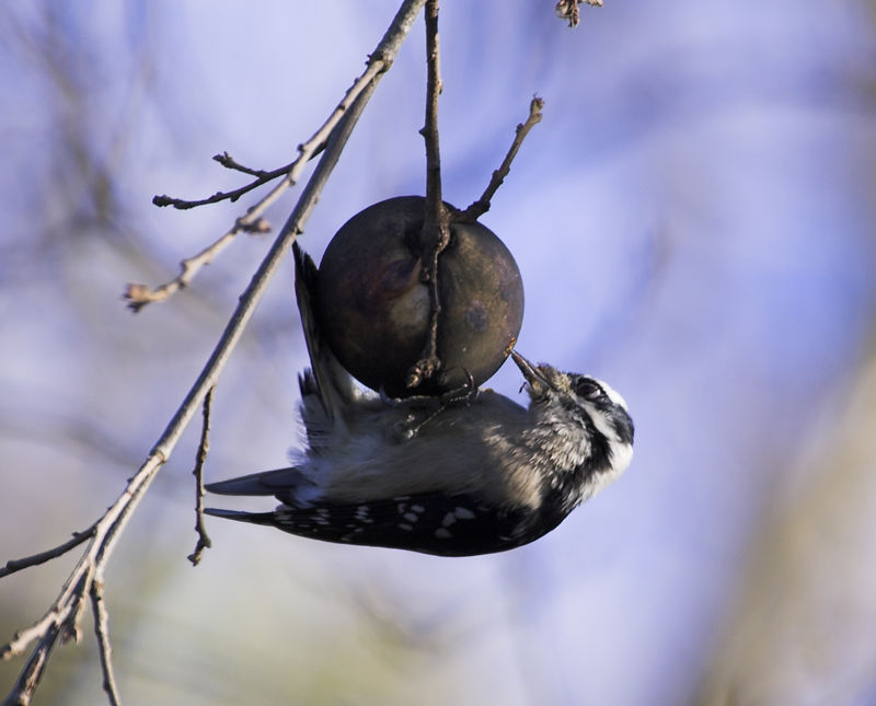 Downy Woodpecker series drilling into oak gall for larva