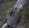 Nuttall's Woodpecker.  Effie Yeaw Sacramento County Park.