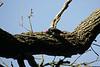 Acorn Woodpecker.  Effie Yeaw Sacramento County Park
