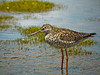 Greater Yellowlegs, World Series of Birding 2010, Cape May NJ