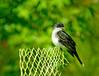 Eastern Kingbird, World Series of Birding 2010, Cape May NJ