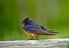 Barn Swallow, World Series of Birding 2010, Cape May NJ