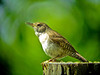 House Wren, Digiscoped, World Series of Birding 2010, Cape May NJ