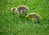 Canada Geese chicks, World Series of Birding 2010, Cape May NJ