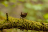 Pacific Wren singing his heart out