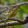 Blackburnian Warbler<br /> 9-21-11
