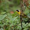 Common Yellowthroat 9/270/9
