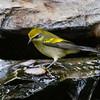 Golden-winged Warbler<br /> Yard, Harrisonburg, 9-9-14