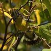 Magnolia Warbler in birch tree 9-19-09