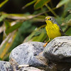 Canada Warbler<br /> 9-21-11