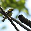 Black-throated Green Warbler 9/27/09