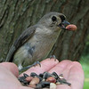 Tufted titmouse<br /> Trust... either that or insatiable greed!  After becoming comfortable in hand, he always took time to choose the largest nut.  He did err once, but realized it immediately.  To my GREAT amusement, he whipped his head around, tossing away his mouthful to grab the bigger prize.
