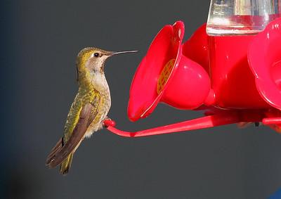 Yvonne's Hummingbirds - June 8