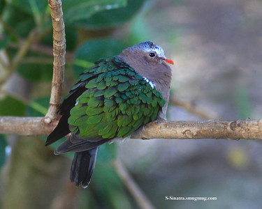 Male Common  Emerald dove