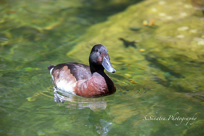 Baer's Pochard inching closer to me