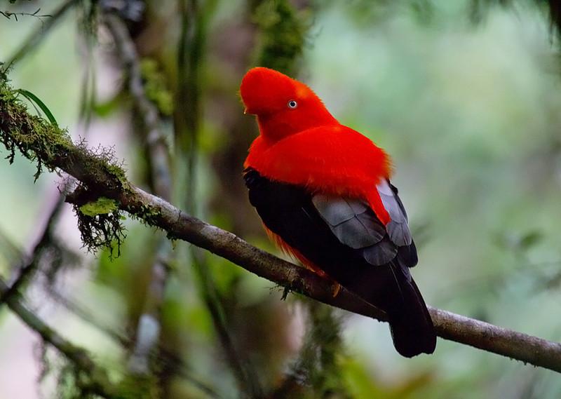 Andean Cock-of-the-rock (<i>Rupicola peruvianus</i>) Manu National Park, Amazon, Peru