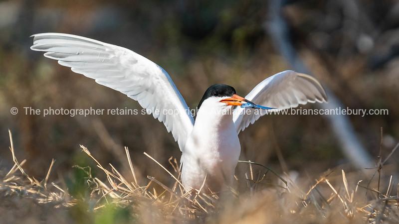 Roseate Tern on Lady Elliot Island returned with fish.