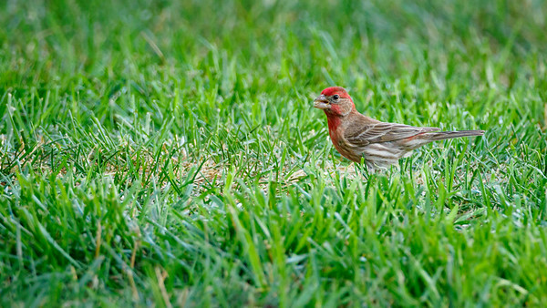 house finch in grass -7110219
