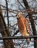 Poss red shouldered hawk 20D 100-400 9888