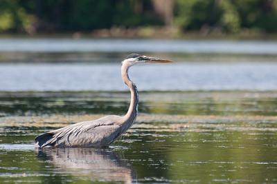 Heron at Nashua River (MA) on 20100702