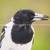 Pied butcher bird portrait looking left
