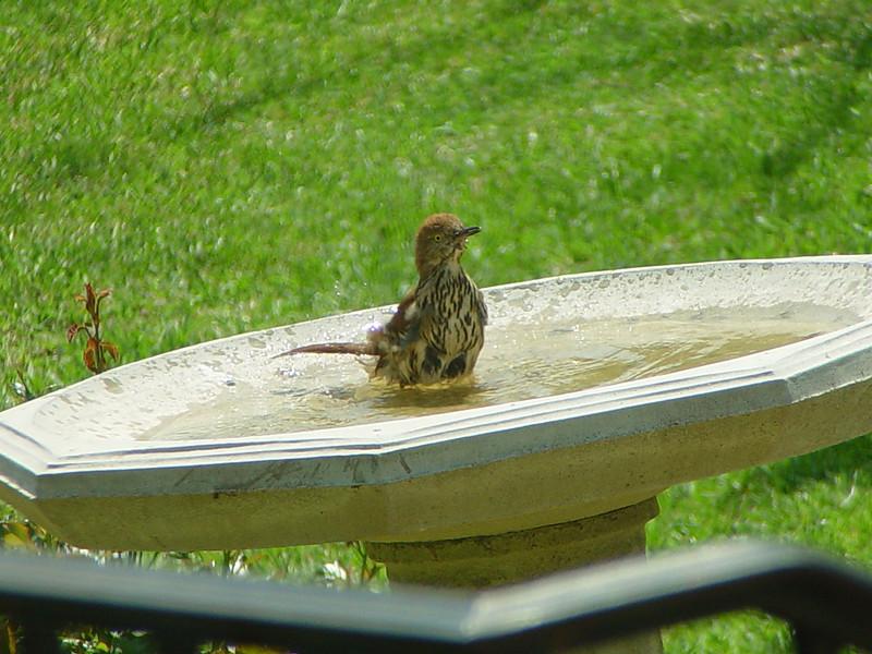 Brown Thrasher taking a bath.