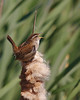 Marsh Wren @ Iona Island Park, Richmond, BC