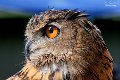 Owl at Scottish Games at Old Westbury Gardens